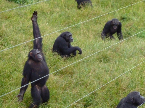 Chimp asking for more food
