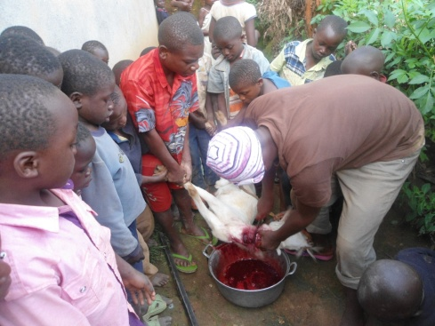 Bleeding a goat is an important skill to learn!