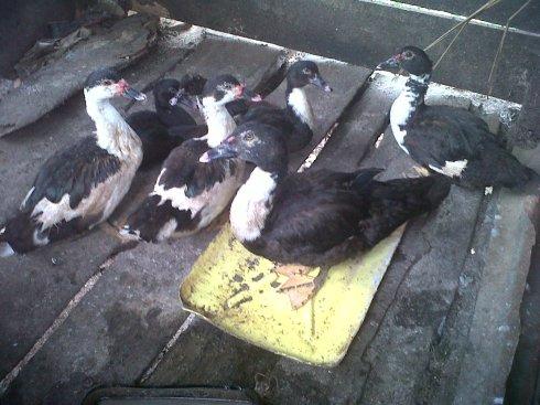 Ducks for Orphans in Beni